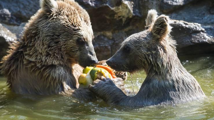 Auch im Schwimmbecken finden die Bären Abkühlung.