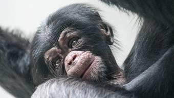 Schimpansenbaby im Zolli