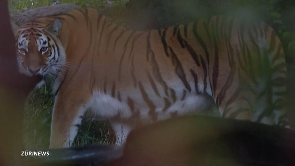 Tiger-Attacke: Zoo Zürich führt Abdankungsfeier für verstorbene Pflegerin durch