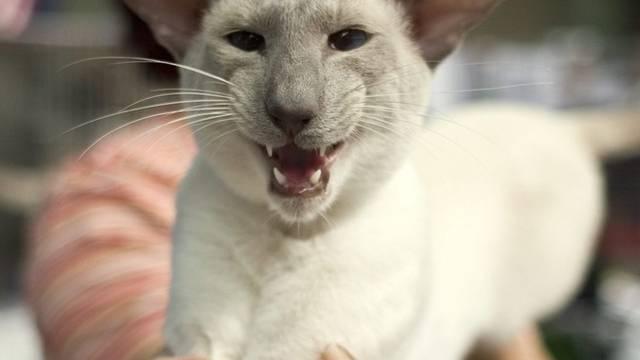 Eines ihrer sieben Leben hat eine siamesische Katze in Fiesch verspielt (Symbolbild)