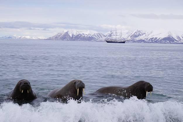 Neugierige, fröhliche Walrosse auf Spitzbergen.