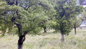 ochstammbäume in Bettlach: Die Steinobsternte war sehr problematisch, die Kernobsternte war Schwankungen ausgesetzt. Symbolbild