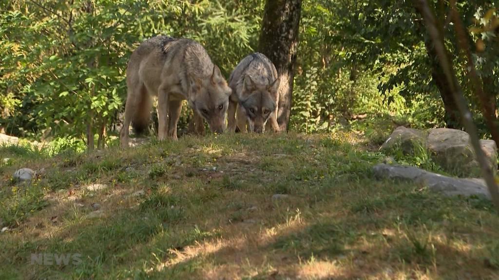 Tierpark Dählhölzli: Neue Wölfin versteht sich blendend mit Berner Wolf