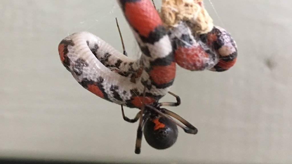 Spinnen haben Appetit auf Schlangen – und fressen sie