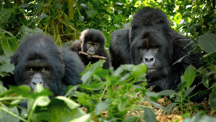 Fast wären sie ausgestorben, heute werden Berggorillas in Ruanda nicht mehr gewildert, sondern streng geschützt.