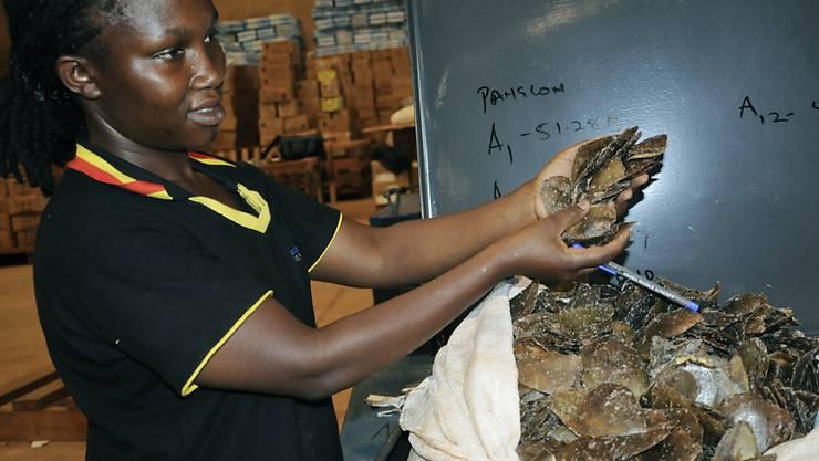 Neben Elfenbein fand der ugandische Zoll in dem Container aus dem Kongo auch 423 Kilo Panzer gefährdeter Schuppentiere (Pangoline). Zwei weitere Container wurden bisher noch nicht geleert.