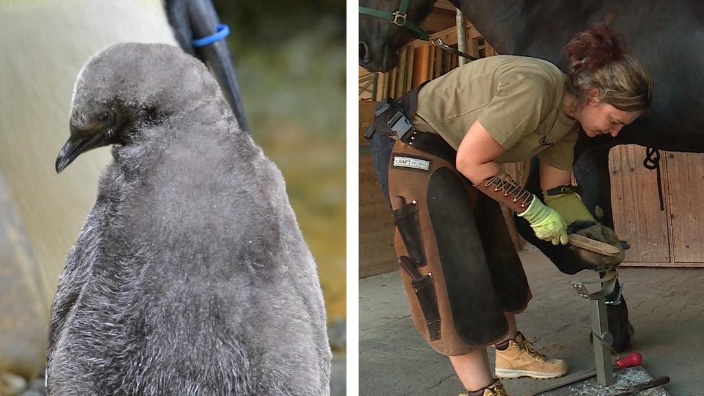Tierische Pedicure / Königspinguin Nachwuchs