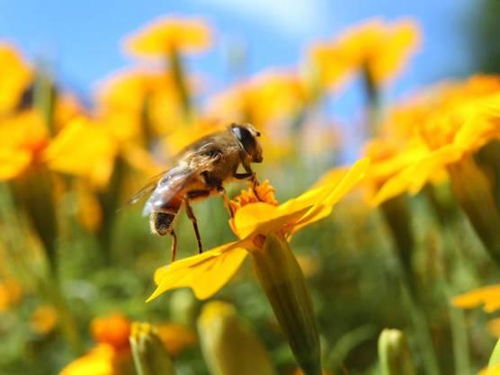 Bienen sollen besser geschützt werden (Archiv)