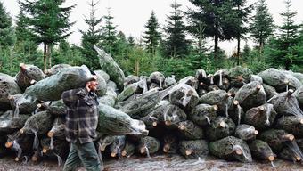 Welcher passt in die heimische Stube? In den nächsten Tagen gehts ans Aussuchen des perfekten Weihnachtsbaums.