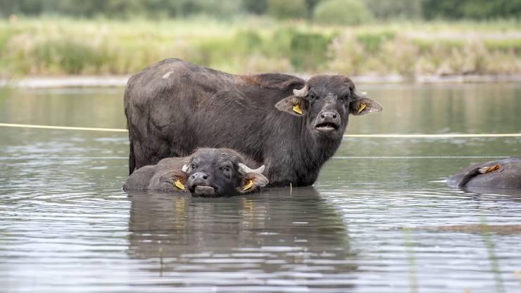 Die Wasserbüffel der Bauernfamilie Josef und Edith Villiger auf dem Brunnenhof in Sins.