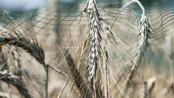 Mit einem Netz bedeckte Ähren in einem früheren Versuch mit Gentech-Getreide auf dem geschützten Feld in Reckenholz ZH. (Archivbild)