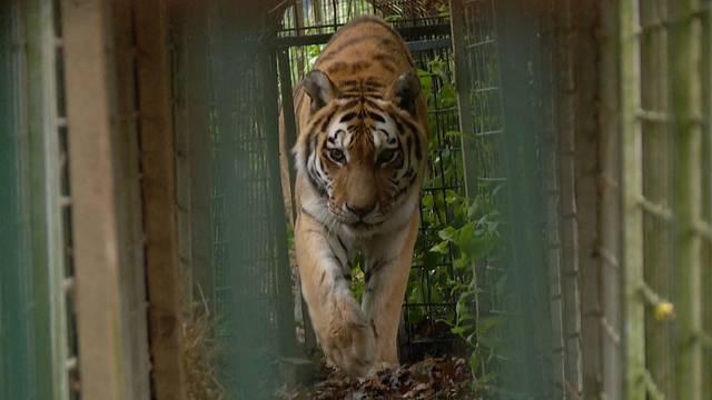 Special: Die Raubtierzüglete der Tigerdame Tajna