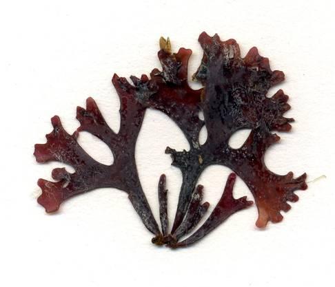 Die Rotalge Chondrus crispus wächst vor allem auf Steinen im Flachwasser des Atlantik.