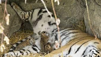In der Nacht auf Dienstag gebar Tiger-Dame Julinka in einer Höhle der Aussenanlage des Walter Zoos drei Babys.