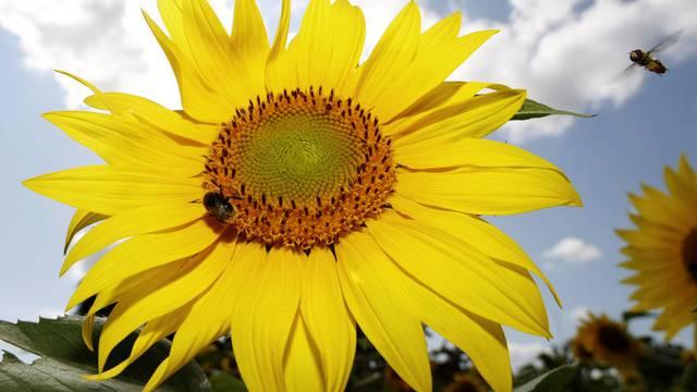 Die Ausstellung befasst sich auch mit der Mathematik der Sonnenblumen (Archiv)