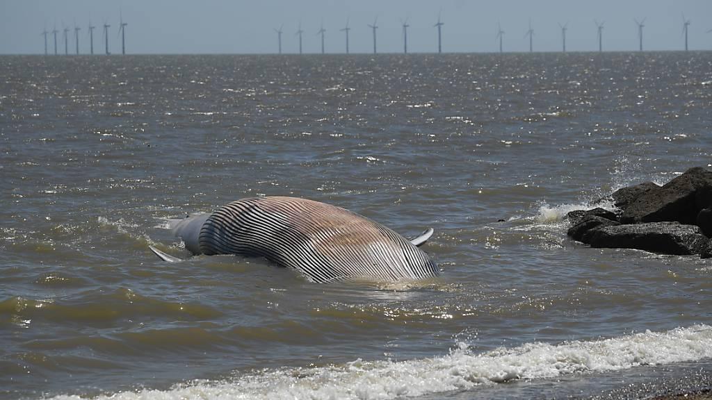 Über zwölf Meter langer Wal an englischer Küste angespült