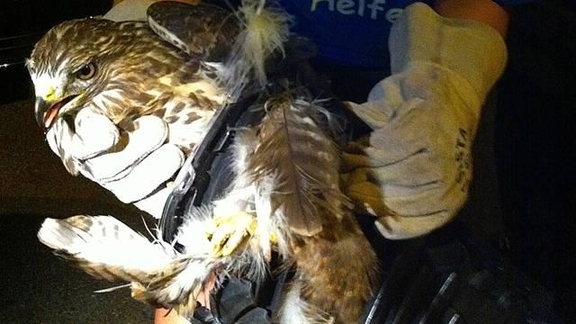 Der Mäusebussard im Kühlergrill (Bild: Kapo ZH)