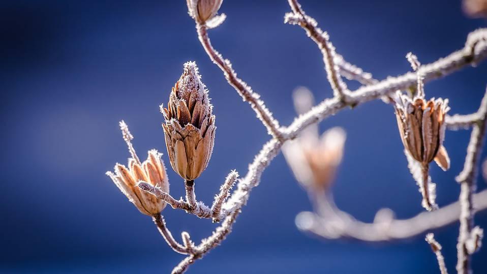 Winterruhe für Knospen wird kürzer