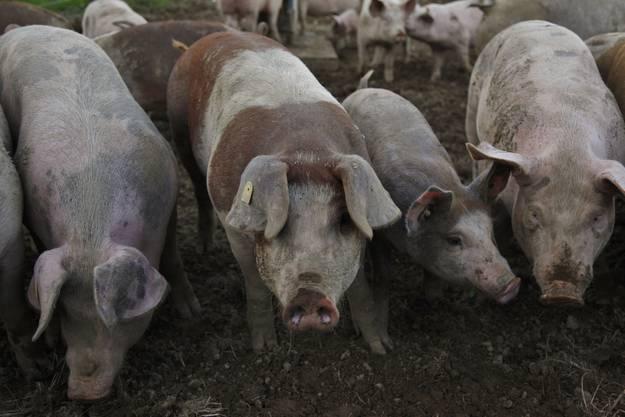 Die Bio-Schweine von Alfred Vogt