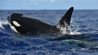 Orcas vor Hawaii: Das grösste Meeresschutzgebiet der Welt mit einer Fläche von nunmehr 1,5 Millionen Quadratkilometer befindet sich vor Hawaii. (Archivbild)