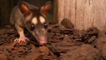 Da läuft etwas: Die Opossum-Familie in ihrem neuen, abgedunkelten Zuhause.