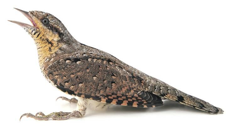 Stark gefährdet: der Wendehals Auch der Wendehals wird als Prioritätsart für die Artenförderung eingestuft. Bild: Getty Images