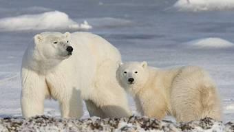Eisbären erhalten Nationalpark