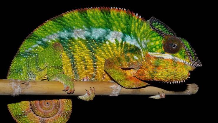 Die elf neuen Arten der Panther-Chamäleons lassen sich anhand ihrer Färbung unterscheiden