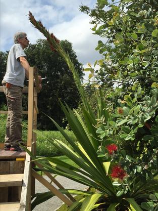Obergärtner Bernhard Hirzel betrachtet die Blüte der australischen Speerblume.