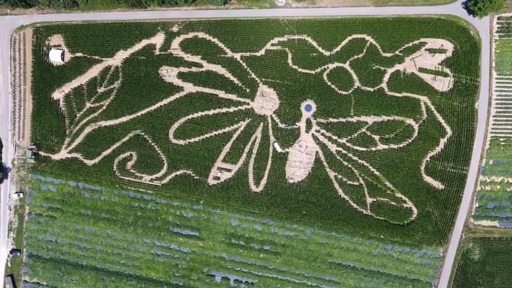 Anhand einer Zeichnung seiner Freundin hat Samuel Mathis in diesem Jahr das Maislabyrinth als Blume mit Insekt gestaltet. Die Attraktion eröffnet am Samstag.