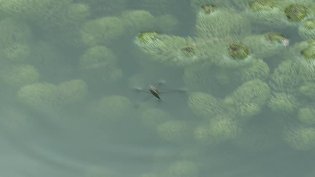 Bedrohung: Ausgesetzte Fische verdrängen heimischen Arten