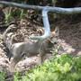 Ein Jungwolf des Staigas-Rudel.  Das Foto stammt aus dem vergangenen Sommer.