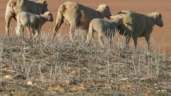 Ein Schaf pro Herde ist mit einem Handy ausgerüstet (Symbolbild)