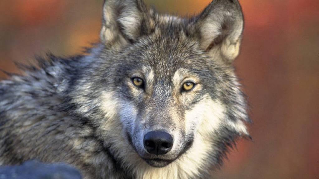 Der Wolf bleibt geschützt.