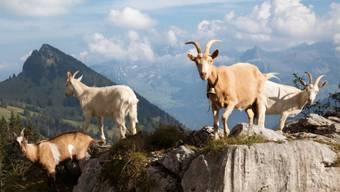 Ziegen oberhalb Näfels im Kanton Glarus (Archiv)