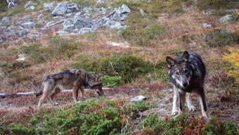 Die Zahl der in der Schweiz lebenden Wölfe nahm in den vergangenen Jahren zu. Sind es sogar zu viele?