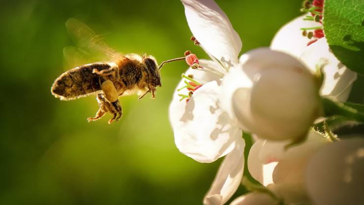 Dank Gentechnik soll die Honigbiene pestizidresistent werden. Bild: Getty Images