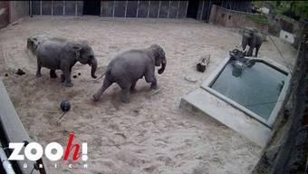Die Überwachungskamera im Hintergrund des Kaeng Krachan Elefantenparks im Zoo Zürich hat aufgezeichnet, wie sich Elefantenbulle Maxi seine Enkelin Ruwani sanft vom Leib hält.
