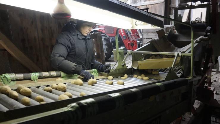 Claudia Zimmermann-Hildebrand arbeitet in der Tenne konzentriert an der Kartoffel Sortiermaschine.