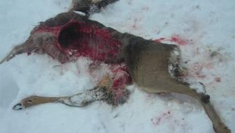 Ein trauriges Bild bot sich der Jagdgesellschaft in Gipf-Oberfrick. Dieses Reh wurde anscheinend von Hunden gerissen.