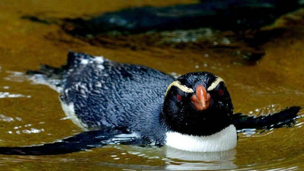 Dieser Dickschnabelpinguin geniesst das gemütliche Leben im Zoo - seine freilebenden Artgenossen sind wahre Langstreckenschwimmer und überwinden enorme Strecken. (Archiv)