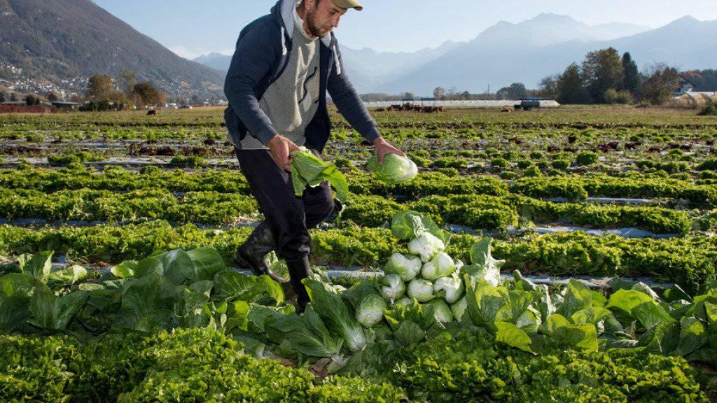 Die Schweizer Landwirtschaft hat ein relativ gutes Jahr hinter sich. Einzig der Frost im Frühling sorgte für Schäden und Ernteeinbussen. (Archivbild)