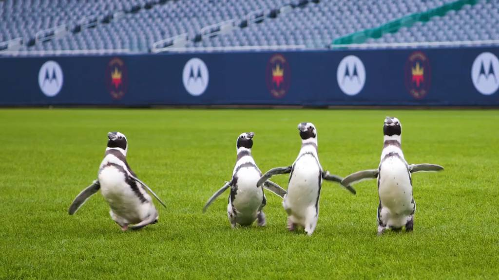 Pinguine entdecken Football-Stadion