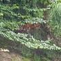 Amurtigerin Irina im Gehege des Zoo Zürichs im Juli 2019. (Archivbild)