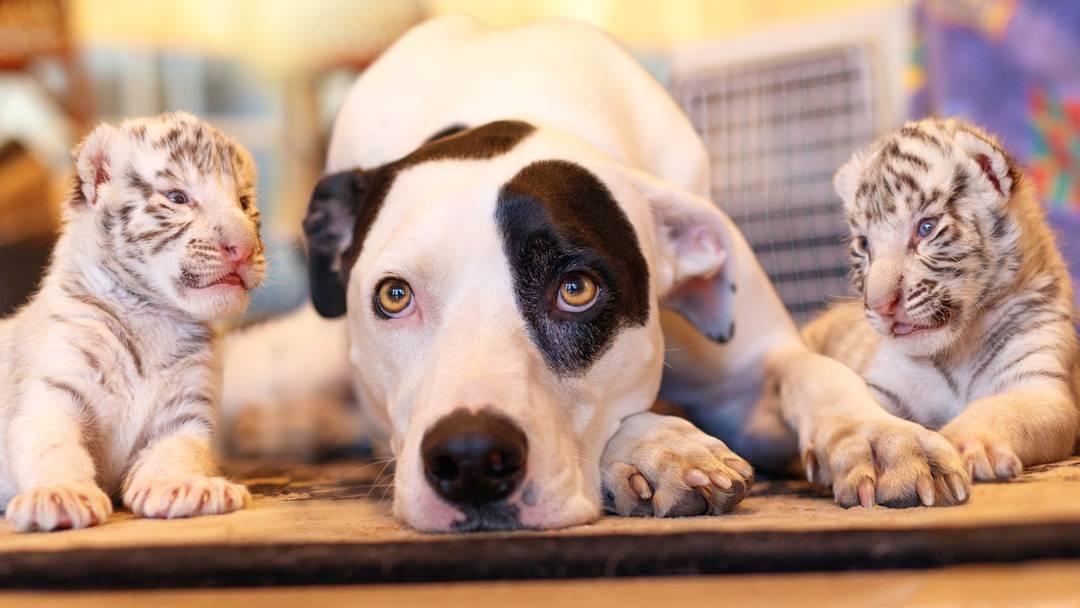 Sie sind nicht nur herzig, sondern machen auch herzige Geräusche: Die zwei Tigerbabys, die jetzt bei der Tierpflegerin und ihrem Hund aufwachsen.