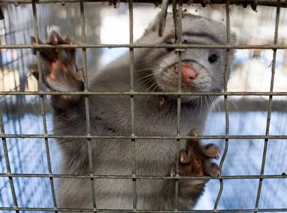 Ein Nerz in einem Käfig in China. Die aktiven Tiere entwickeln in der Käfighaltung apathische Verhaltenszüge.
