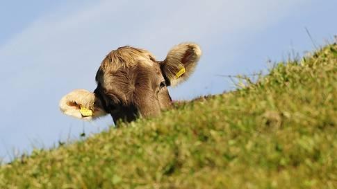 Die Kuh war 24 Stunden auf der Flucht. (Symbolbild)