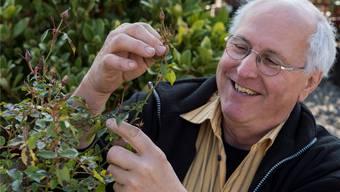 Walter Germann pflückt die alten, von Pilzen befallenen Blätter von einem Rosenbäumchen, so schützt er die frischen Blätter. Alex Spichale