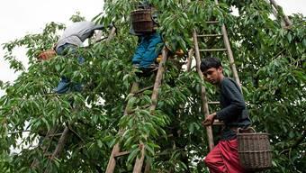 Für Fricktaler Bauern im Einsatz: Asylsuchende während der Kirschenernte. Annika Bütschi