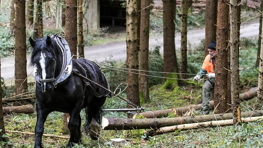 Arbeit für Mann und Pferd: Pferderücker Gian Denoth mit Pferd Uranie holt am MIttwoch in Winterthur wegen des vielen Schnees im Januar umgestürzte Bäume aus dem Wald.
